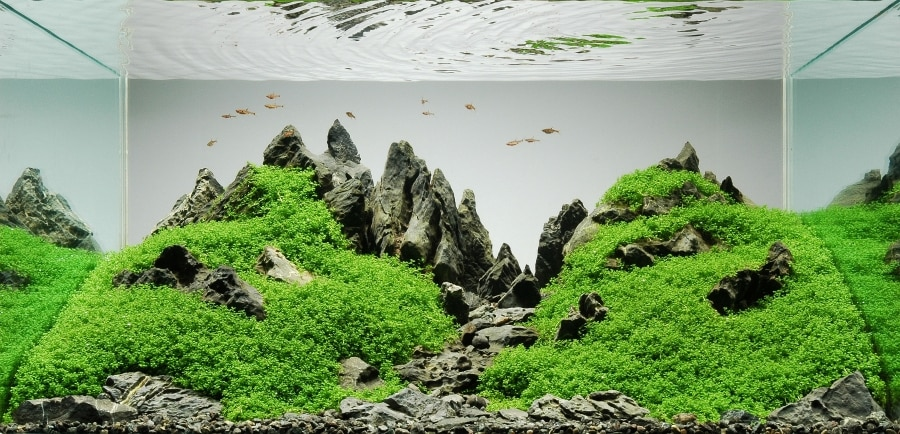 Iwagumi is a simple, elegant approach to aquascaping that makes it easily accessible to new aquascapers. Learn more about Iwagumi aquascapes.